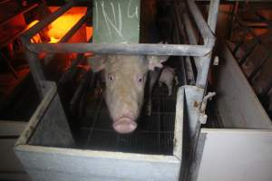 Farrowing Crates at Balpool Station Piggery NSW - Australian pig farming at: Balpool Station Piggery, Niemur NSW, 2014