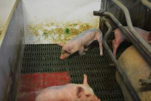 Farrowing crates - Australian pig farming at: Lindham Piggery, Wild Horse Plains SA, 2014