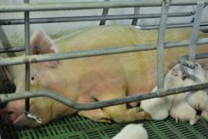 Sow in farrowing crates - Australian pig farming at: Lindham Piggery, Wild Horse Plains SA, 2014