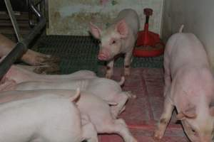 Pressure sore on piglet - Australian pig farming at: Lindham Piggery, Wild Horse Plains SA, 2014