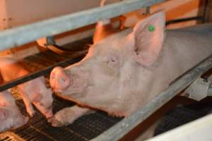 Sow in farrowing crates - Australian pig farming at: Dublin Piggery, Dublin SA, 2014