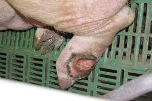 Injury on sow - Australian pig farming at: Lindham Piggery, Wild Horse Plains SA, 2014