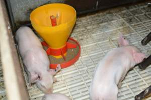 Piglets in farrowing crates - Australian pig farming at: Dublin Piggery, Dublin SA, 2014