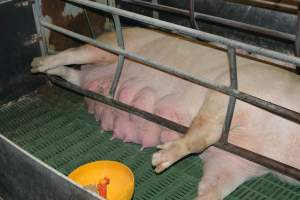 Sow who doesn't fit in farrowing crates - Australian pig farming at: Lindham Piggery, Wild Horse Plains SA, 2014