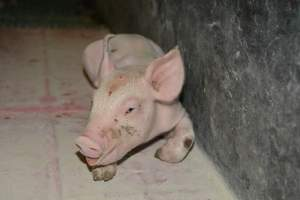 Unwell piglet - Australian pig farming at: Lindham Piggery, Wild Horse Plains SA, 2014