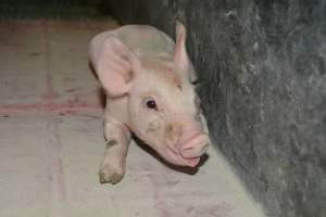 Unwell piglet in farrowing crates - Australian pig farming at: Lindham Piggery, Wild Horse Plains SA, 2014