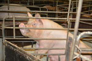 Farrowing crates - Australian pig farming at: Dublin Piggery, Dublin SA, 2014