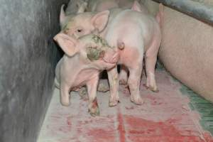 Piglet with face injury farrowing crates - Australian pig farming at: Lindham Piggery, Wild Horse Plains SA, 2014