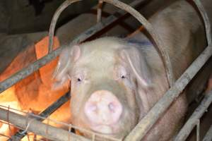 Sow in farrowing crate - Australian pig farming at: Korunye Park Piggery, Korunye SA, 2014