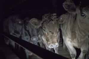 Cattle waiting in slaughterhouse holding pens - Australian abattoirs/slaughterhouses: Gathercole's Carrum Downs Abattoir, Carrum Downs VIC, 2017