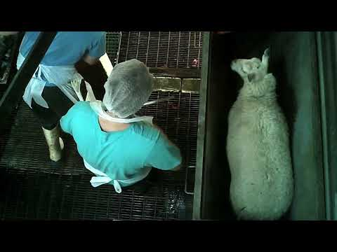 Cradoc Hill Abattoir: 'Ethical' slaughter at Cradoc Hill Abattoir TAS (long edit)