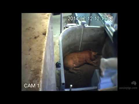 Corowa Abattoir: 'Humane slaughter' at Corowa NSW abattoir, Australia 2014